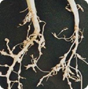 根结线虫 --消— (主剂+副剂)