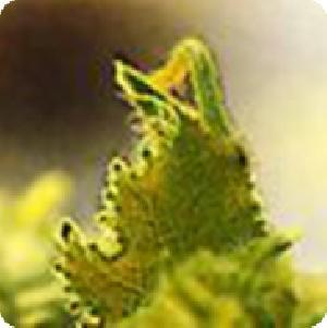小菜蛾、银(斜)纹夜盗、甜菜夜蛾( NPV)核多角体病毒